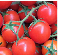 seed permaculture Tomate cerise naine « Red Robin » 20 graines méthode Bio