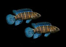 Pair of Badis badis (Chameleonfish)