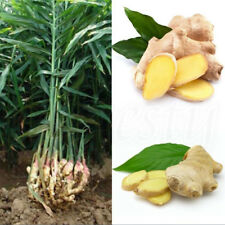 100pcs Gardening Seeds Ginger Seeds 4 Seasons Fast Grow Ginger Seeds Plants New
