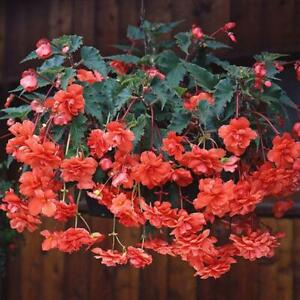 Begonia Seeds Begonia Sun Dancer Salmon 15 Pelleted Seeds Trailing Begonia