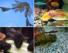 x6 ASSORTED BRISTLENOSE PLECO FISH - PLECOSTOMUS - SM/MD - FREE SHIPPING