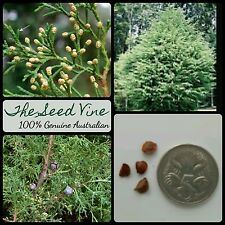 50+ MEXICAN CYPRESS SEEDS (Cupressus lusitanica) Pine Christmas Bonsai Conifer