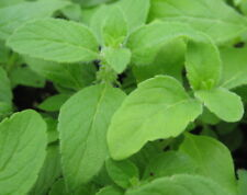 MINT - BANANA - Herb, 1 LIVE PLANT!  must ship immediately! GroCo Plants USA+