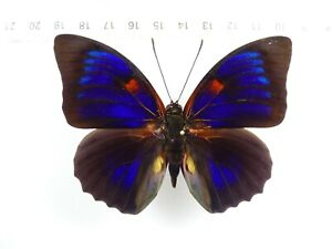 + ENTOMOLOGY, BUTTERFLY: HYBRID AGRIAS BEATIFICA X CLAUDINA MALE PERU +++ WOW !