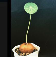 *UNCLE CHAN*bulb STEPHANIA ERECTA CRAIB MENISPERMACEAE PLANT BONSAI SUCCULENT