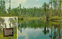 Postcard Okefenokee Park Swamp, Waycross, GA