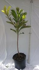 MAMEY SAPOTE MAGANA, KEY WEST OR ROSS Live  Fruit Tree 7 gal ,  5 ft grafted