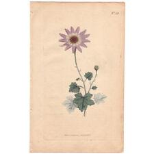 Curtis Botanical Magazine antique 1791 hand-colored engraving 53 Woolly Cinerari