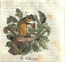 Stampa antica GHIRO DORMOUSE Cosmorama 1840 Old antique print