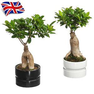 10 Ficus Ginseng Bonsai Seeds - Ficus Microcarpa - Rare Bonsai Seeds