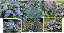 Blue Navajo Butterfly Bush Perennial Flowers 50 Seeds