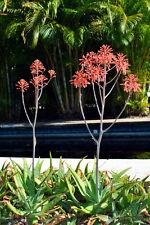 Ihre Sukkulenten-Sammlung erhält mit der Gefleckten Aloe eine weitere Attraktion