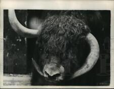 "1957 Press Photo New York 30 year old Yak named ""Mickey"" at Central Park Zoo NYC"