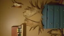 Fresh match set moose antlers 14 and 18lbs