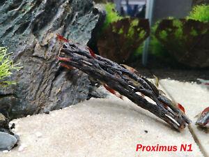 Cholla Wood aquarium decoration for shrimp tank fish pleco catfish