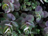 Sedum Dazzleberry purple succulent small ground cover