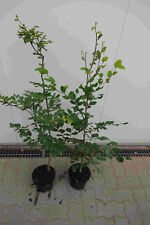 Rotbuchen 1st 80-120cm  Heckenpflanzen /% Super Sale /% Rotbuche