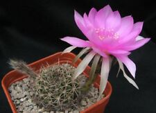 Cactus Echinopsis cardenasiana 5 seeds  Hardy to 20°F easy grow CombSH C108