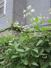 188 Seeds Clematis Vine Moonlight Gardens Starry Sweetly Fragrant Wyldflower