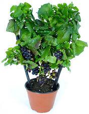 Miniature Grape Vine Seeds - PIXIE - Pinot Meunier - VERY RARE VARIETY- 15 Seeds