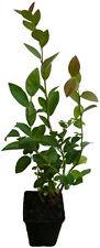 Heidelbeere - Brigitta Blue - Pflanzen Blaubeere mit süßen Früchten