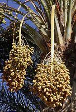 Phoenix dactylifera True date palm 20 Samen