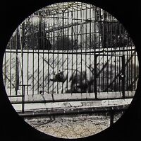 Glass Magic Lantern Slide A BEAR AT THE ZOO C1890 VICTORIAN PHOTO CAGED