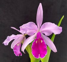 New listing Rare Cattleya Orchids - C warscewiczii typical In Bloom