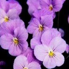 Viola - Sorbet Lilac Ice - 15 Seeds