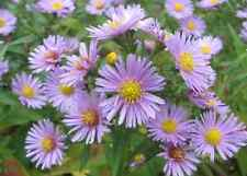 100 HEART LEAVED ASTER Cordifolius Blue Wood Aster Flower Seeds *Combined Ship