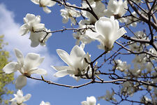 Magnolia 'Kobus' in 2L pot 2-3ft tall, Fragrant White Flowers