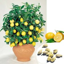 10Pcs Rare Lemon Tree Seeds Available Indoor Outdoor Garden Heirloom Fruit Plant