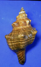 Formosa/shells/Pleuroploca trapezium 152mm.w/o.