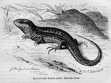ZAUNEIDECHSE Lacerta Holzstich von 1892 EIDECHSE LIZARD Reptil