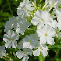 Phlox- White- (Drummondii  Compacta)- 100 Seeds- BOGO 50% off SALE