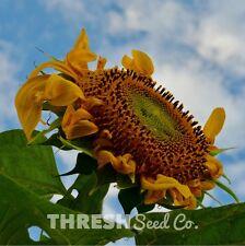 Sunflower - Mammoth Grey Stripe - 50 seeds + Free Gift