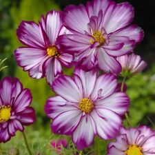 'Fizzy Rose Picotee' Cosmos Annual Flowers 50 Seeds Purple White Petals Plants