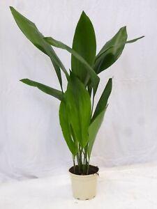 XL Aspidistra elatior 100 cm - Schusterpalme - Zimmerpflanze