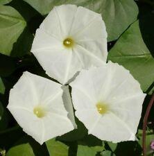 White Moonflower, 10 Seeds, Evening Blooms Fragrant Flower Moon Garden