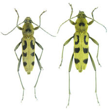 Insect - Chlorophorus simillimus - Korea - Pair 15~20mm ....!!