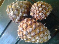 PINOLI - 1kg BIO / organici-Italian Stone Pine CONI (PINUS PINEA)