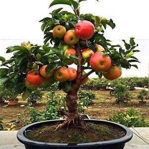 Dwarf Bonsai Apple Tree Seeds - 20 Seeds - Grow Exotic Indoor Fruit Bonsai
