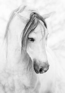 Classic Beautiful Grey Horse in White Snow Quality Canvas Print A4