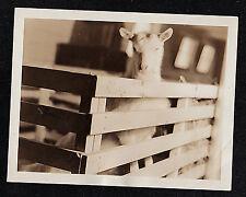 Antique Vintage Photograph Adorable Little Goat Standing Inside Pen