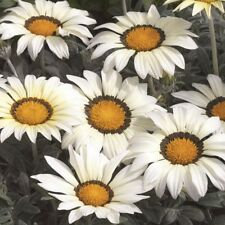 Gazania-Kiss Blanco - 15 semillas