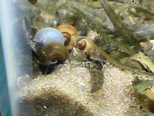 10 + 2 Assorted Mystery Snails (Ivory, Blue, Black, Chestnut, Jade, Gold)