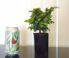 "Dwarf cypress ""Fernspray""  for mame shohin bonsai tree multiple listing"
