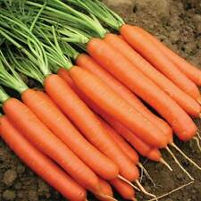 Carrot Seeds - Nantes Improved 5 - 3000 seeds