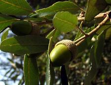 1 PLANT Quercus ilex QUERCIA TREE PLANT ELCE acorn garden leaves LECCIO