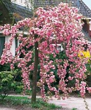 Cheal's Weeping Flowering Cherry Tree 4-5ft In 5L Pot,P.Serrulata Kiku Shidare